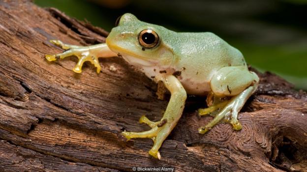 東北雨蛙在感染蛙壺菌之后會改變求偶叫聲
