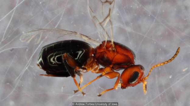 Bassettia pallida是一種寄生在橡樹上的蜂類,其本身又會被另一種新發現的寄生蜂discovered wasp寄生