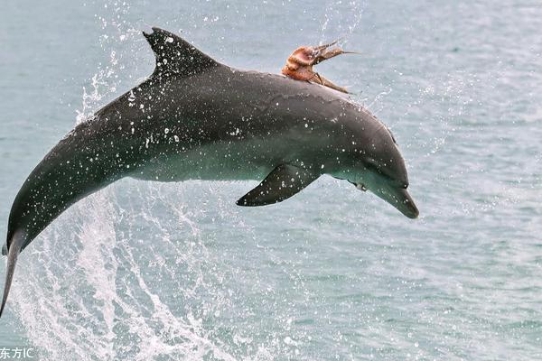 机智章鱼为避免被吃紧贴海豚背