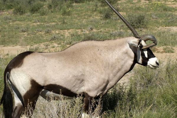 南非羚羊断角后慢慢长回原样