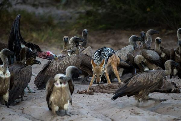 原生大片:秃鹫与豺抢食激战