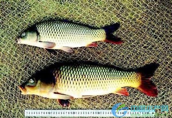 转基因鲤鱼――冠鲤与黄河鲤对照8月龄。