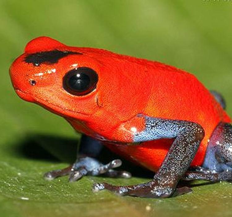 为什么箭毒蛙不会毒死自己?好神奇
