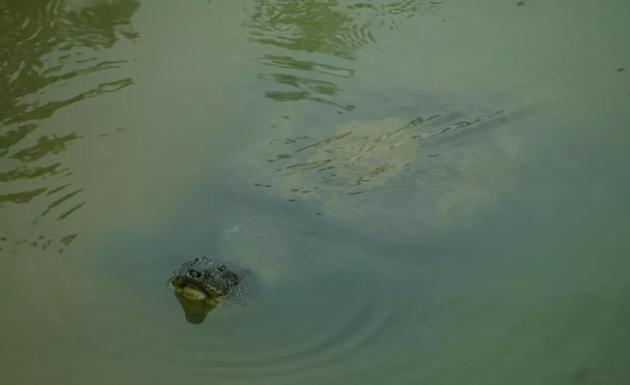 去世的母斑鳖。拍摄者袁畅。
