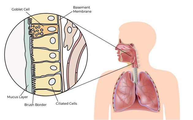 杯状细胞和纤毛上皮细胞有助于呼吸道防御机制