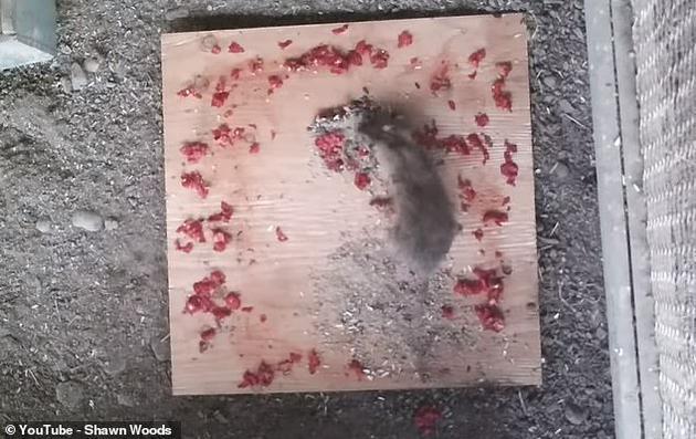 """他在夜间放置了这个食物陷阱,并用隐藏的摄像机拍摄。最终视频显示,老鼠们活蹦乱跳地爬过了""""辣圈"""",肆无忌惮地吃着两堆食物。"""