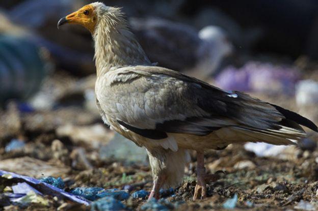 濒危的埃及秃鹰似乎喜欢在垃圾场附近筑巢