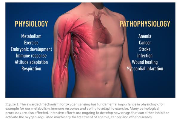 氧感应机制在生理学上具有重要意义,包括对我们的新陈代谢、免疫反应和运动适应能力都有重要影响。许多病理过程也会受到影响。目前科学家正在努力开发新药,以抑制或激活治疗贫血、癌症和其他疾病的氧调节机制。 左:生理学,新陈代谢,运动,胚胎发育,免疫反应,高原适应,呼吸 右:病理生理学,贫血,癌症,中风,感染,伤口愈合,心肌梗死