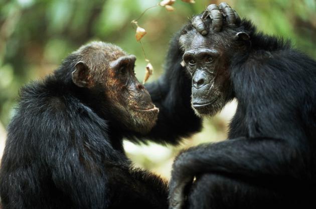 研究:灵长目动物也会悼念死去的同伴,并表现出悲伤情绪