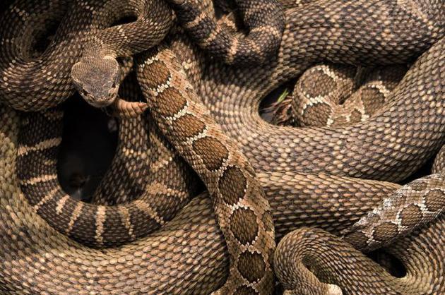 响尾蛇数量以惊人速度减少,与人类活动息息相关!