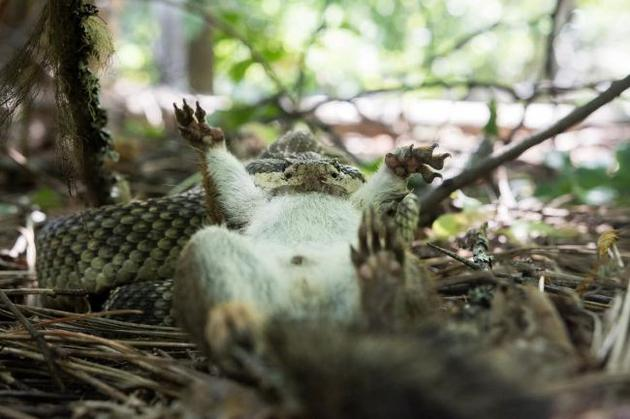 2、一条响尾蛇正在捕杀一只松鼠。