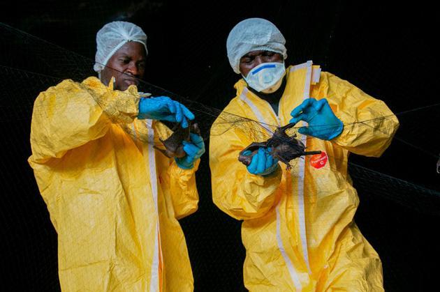 研讨人员在非洲加蓬一处窟窿中捕获的蝙蝠、蝙蝠被认为是许多人类盛行病的来历