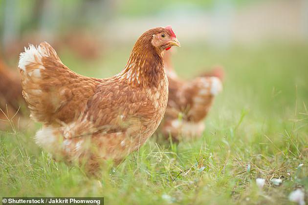 一项新研究提出,经过基因改造的鸡蛋可含有关节炎和癌症药物所需的蛋白质。