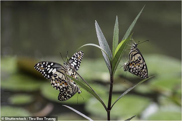 过去十年中,蝴蝶和飞蛾的数量受到了严重打击,例如在2000年至2009年间,英格兰农田中主要蝴蝶物种的数量减少了58%。