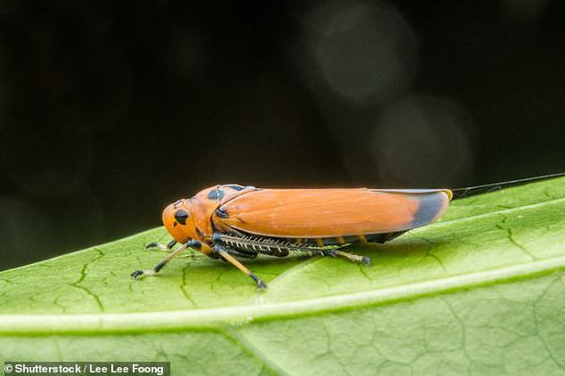 叶蝉是欧洲昆虫的一大组成部分,但是到1950年时,它们的数量已经下降了66%。
