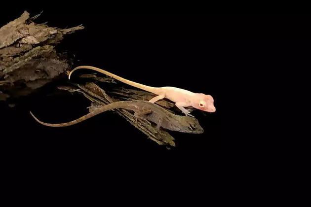 世界首只基因编辑爬行动物诞生