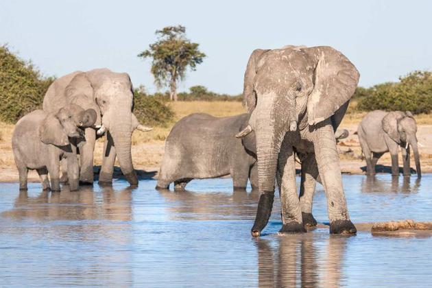 大象体型庞大,从多细胞生物角度来讲,它应该很容易患癌症,但是它们体内一种抗癌基因的多重拷贝可以帮助其抵御癌症。