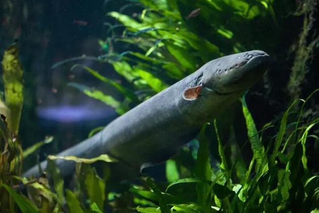 电鳗是一种利用电脉冲进行交流的鱼类