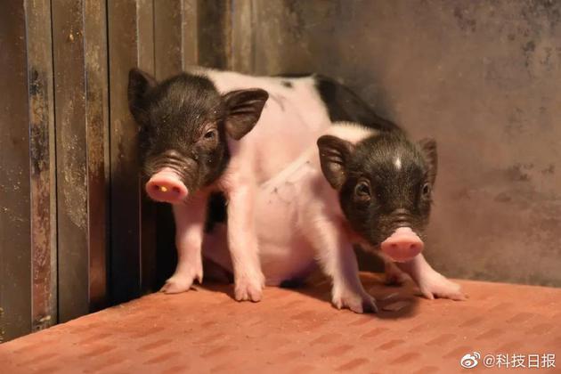 """基因编辑""""猪3.0""""诞生 异种器官移植离""""人人用得上""""更近一步"""