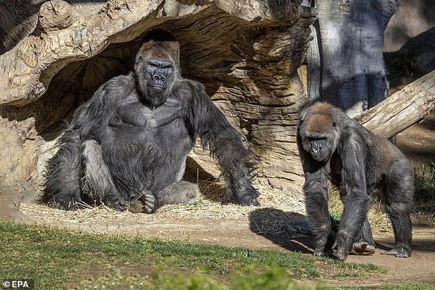 圣地亚哥野生动物园的大猩猩在新型冠状病毒检测中呈阳性