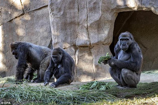 这是已知首例猿类自然感染新冠病毒的病例,尚不清楚它们是否会出现严重反应
