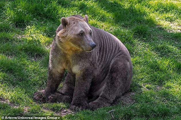 """因为海冰正在融化,北极熊正撤退到内陆寻找食物,并与阿拉斯加的灰熊交配,产生的后代被称为""""灰北极熊""""。"""