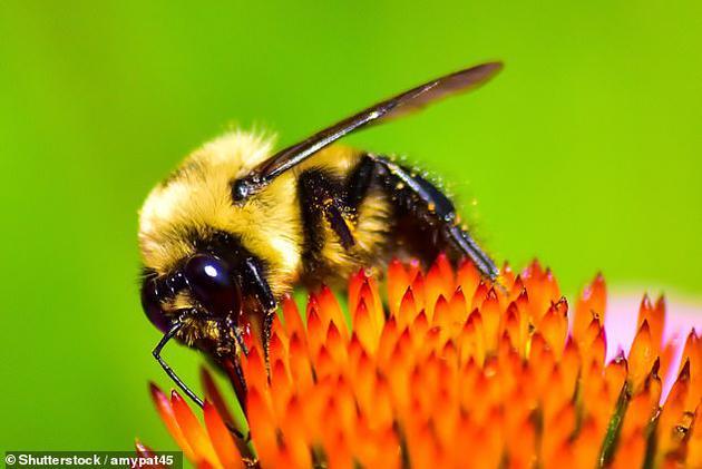 过去十年中,蝴蝶和飞蛾的数量受到了严重打击,而另一个备受瞩目的昆虫类群是蜂类。农药特别是新烟碱类药物的使用,已经导致欧盟和美国的蜜蜂数量急剧减少。