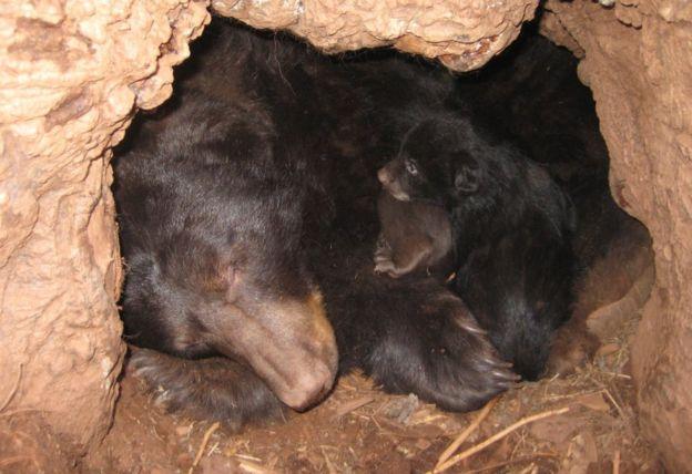 研究人员发现,常食用人类食物的熊冬眠时间更短
