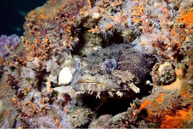 躲在洞口的毒棘豹蟾鱼