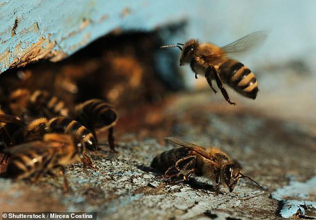 科学家行使蜜蜂4个神经细胞进走大脑模拟实验,终局发现这栽最浅易的器官能够计算数字,最众可计算至5
