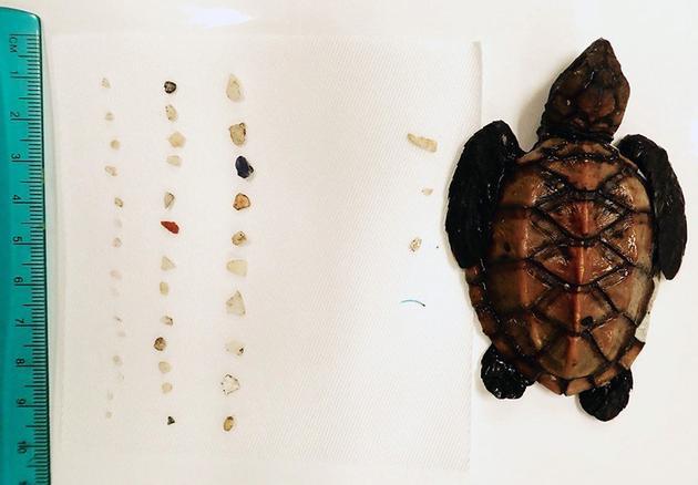 图中是一只孵化不久的夏威夷玳瑁海龟,在它的胃中发现一些塑料微粒