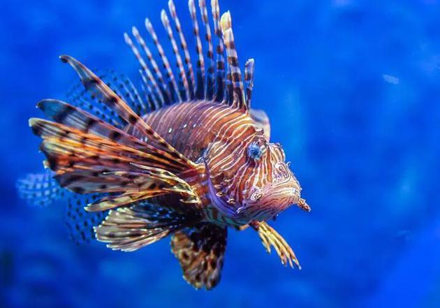 狮子鱼用鲜艳的颜色与捕食者交流