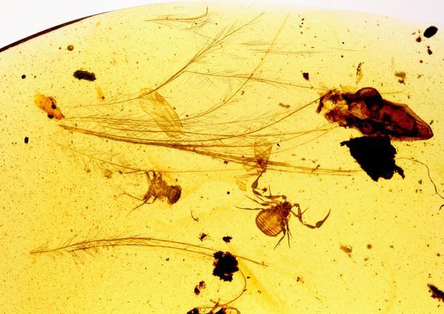 白垩纪的出租车:中外科学家发现琥珀中伪蝎搭车鸟类