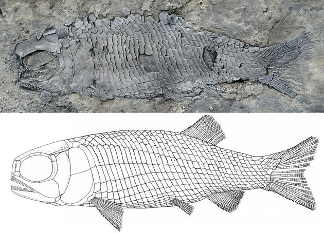 图1。 亚洲肋鳞裂齿鱼正型标本和复原图(徐光辉 供图)