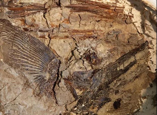 德帕玛发现的一块鱼鳍化石