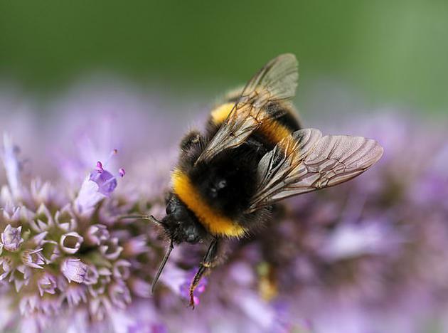 蜜蜂在全球食物供应链上具有重要作用,为养活全球90%人口的农作物授粉,如果没有蜜蜂,农民无法生产水果和蔬菜等食物。