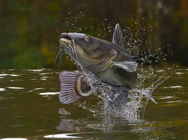 鲶鱼通过移动脊椎来发出声音,以进行相互交流