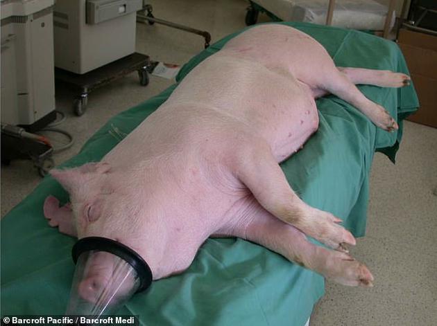 近年來,專家提出人類捐獻器官數量畢竟有限,面對如此大的供求差距,建議將動物器官植入人類身體,或者在實驗室獨立培育移植器官。目前,由哈佛大學遺傳學家喬治_丘奇(George Church)領導的eGenesis公司正在改良豬器官,使其最終能夠移植到人類患者。