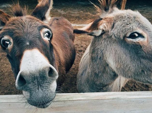 Science:阿胶产业将导致全球毛驴数量减半