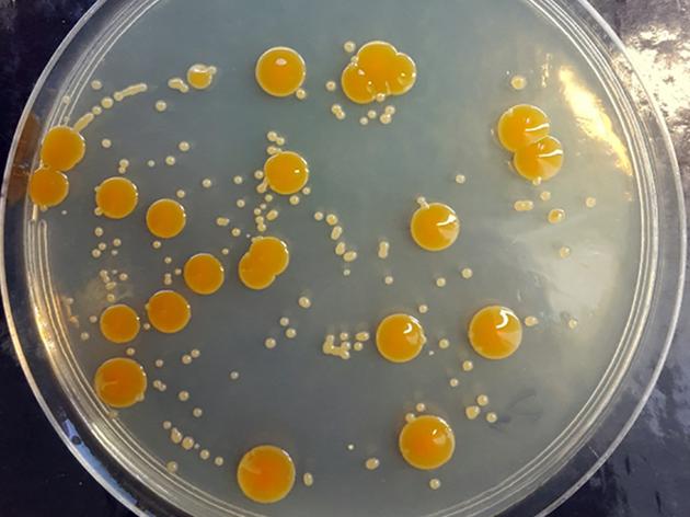 在高氯酸盐环境中生长的嗜盐杆菌菌群看起来比正常菌群更小,颜色更浅,但它们仍然能够幸存下来。
