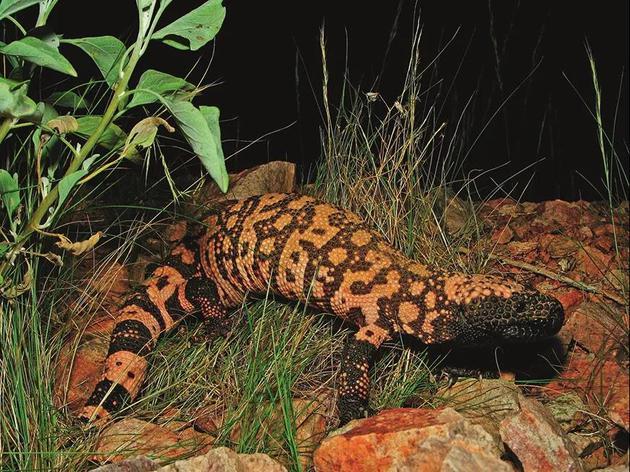 吉拉毒蜥如今已被列入受威胁物种名录,是一种性情羞涩、行动缓慢的动物。