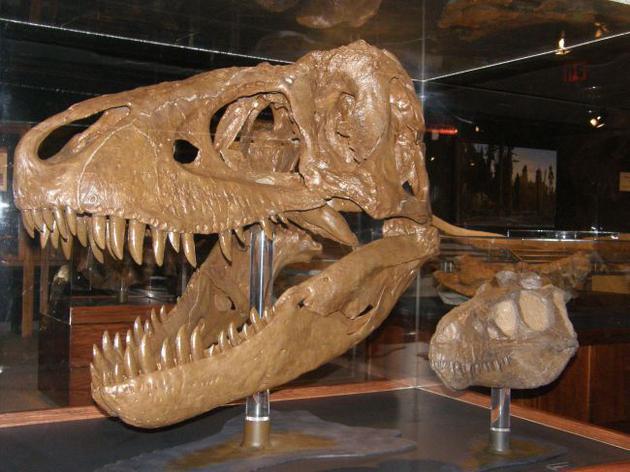 """1、蒙大拿州波兹曼的落基山脉博物馆,一个被称为""""克利夫兰头骨""""的幼年霸王龙模型和另一个被称为""""b型霸王龙""""雷的成年霸王龙头骨一起展示。"""