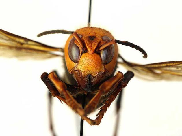 大虎头蜂是世界上最大的胡蜂,主要分布于亚洲东部和东南部,研究人员在北美也发现了它们的踪迹