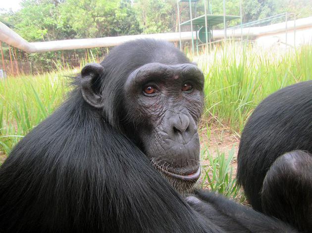 Rosie是2009年获救的一只东部黑猩猩幼崽,现在生活在刚果民主共和国的J.A.C.K。黑猩猩救助中心。那里的护理人员正在采取预防措施,避免这些濒危猿类接触新冠病毒