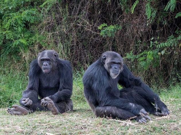 肯尼亚甜水黑猩猩保护区的黑猩猩
