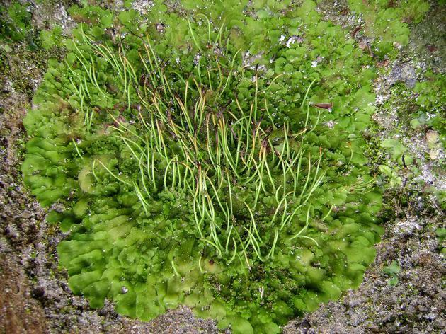 图为在巴拿马安东山谷中发现的平孢角苔。