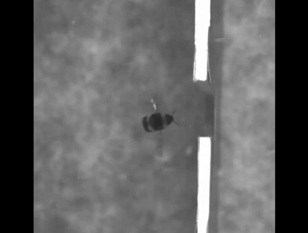 当缺口小于熊蜂的翼展时,它们会停下来打量一番,然后侧身穿过缺口而不损伤翅膀