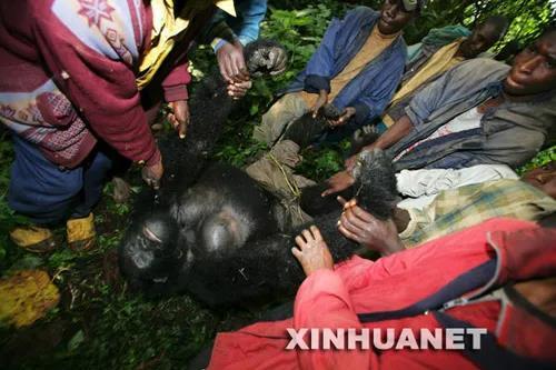 在刚果(金)的维龙加国家公园,人们抬起一只被杀害的山地大猩猩的尸体(2007年7月24日摄)图片来源:新华社