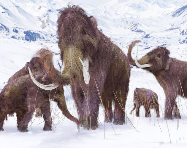 1、新研究表明,大约4000年前生活在西伯利亚弗兰格尔岛上的侏儒猛犸受到基因问题的困扰,其体内DNA增大了它们患糖尿病、发育缺陷和精子数量低的风险,它们甚至闻不到花朵的气味。