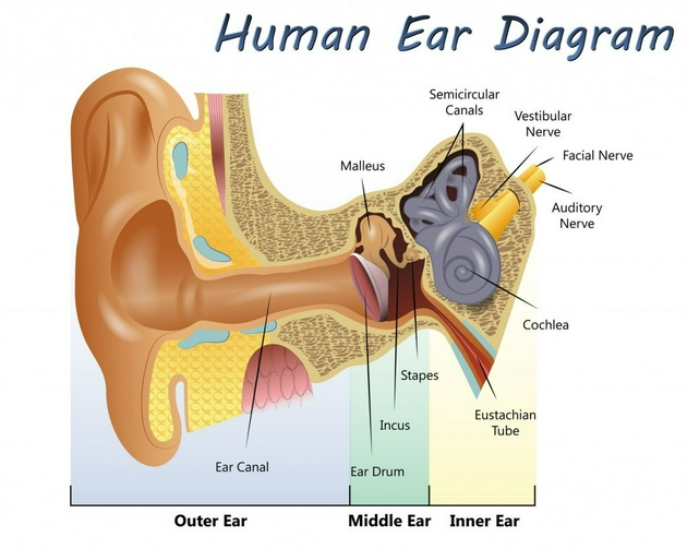 人耳解剖图